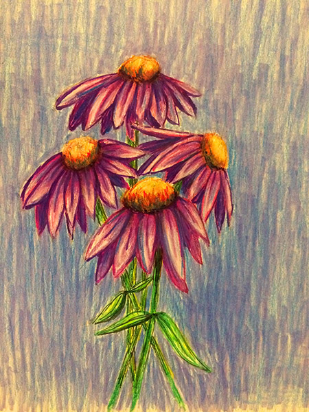 Laura's Creative Cottage. Coneflowers illustration. Laura Chalk.